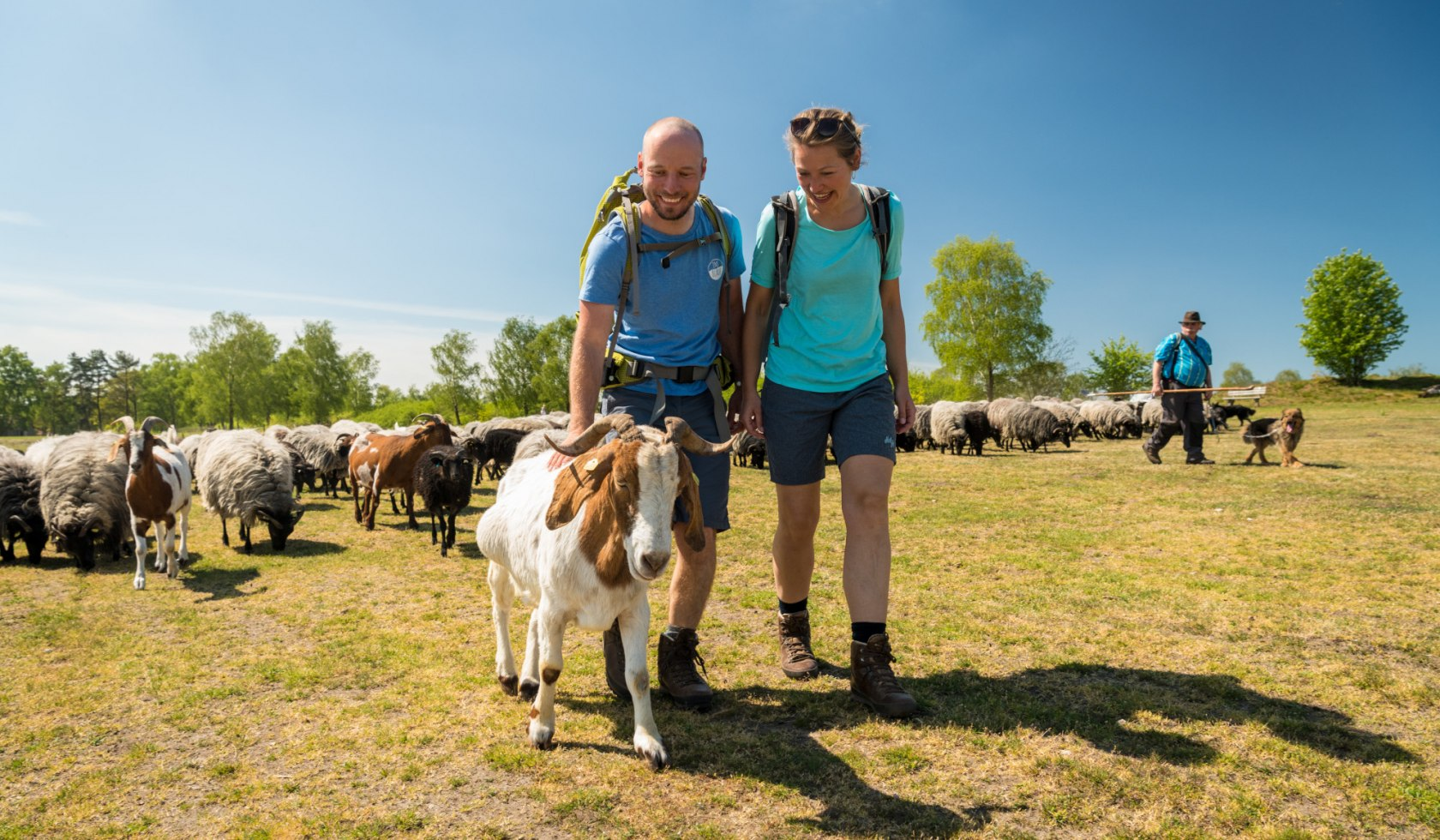 Hiking couple with goats and Heidschnucken in the Lüneburg Heath
