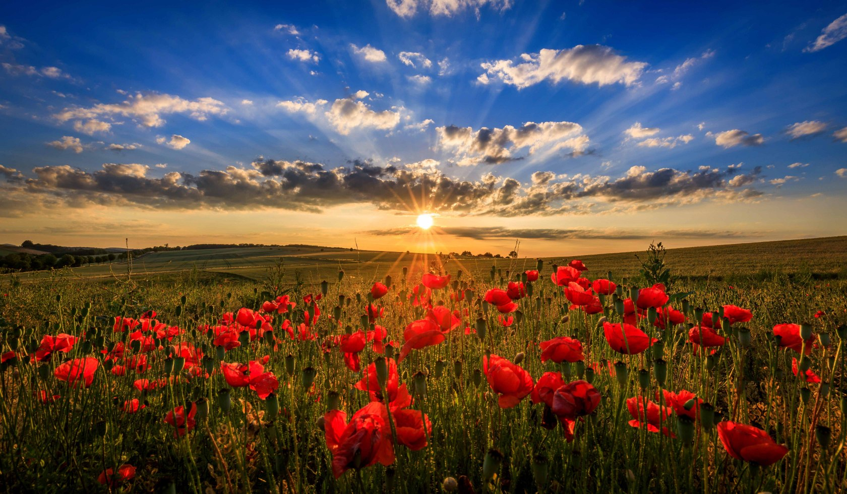 Low sun over poppies and cereal fields
