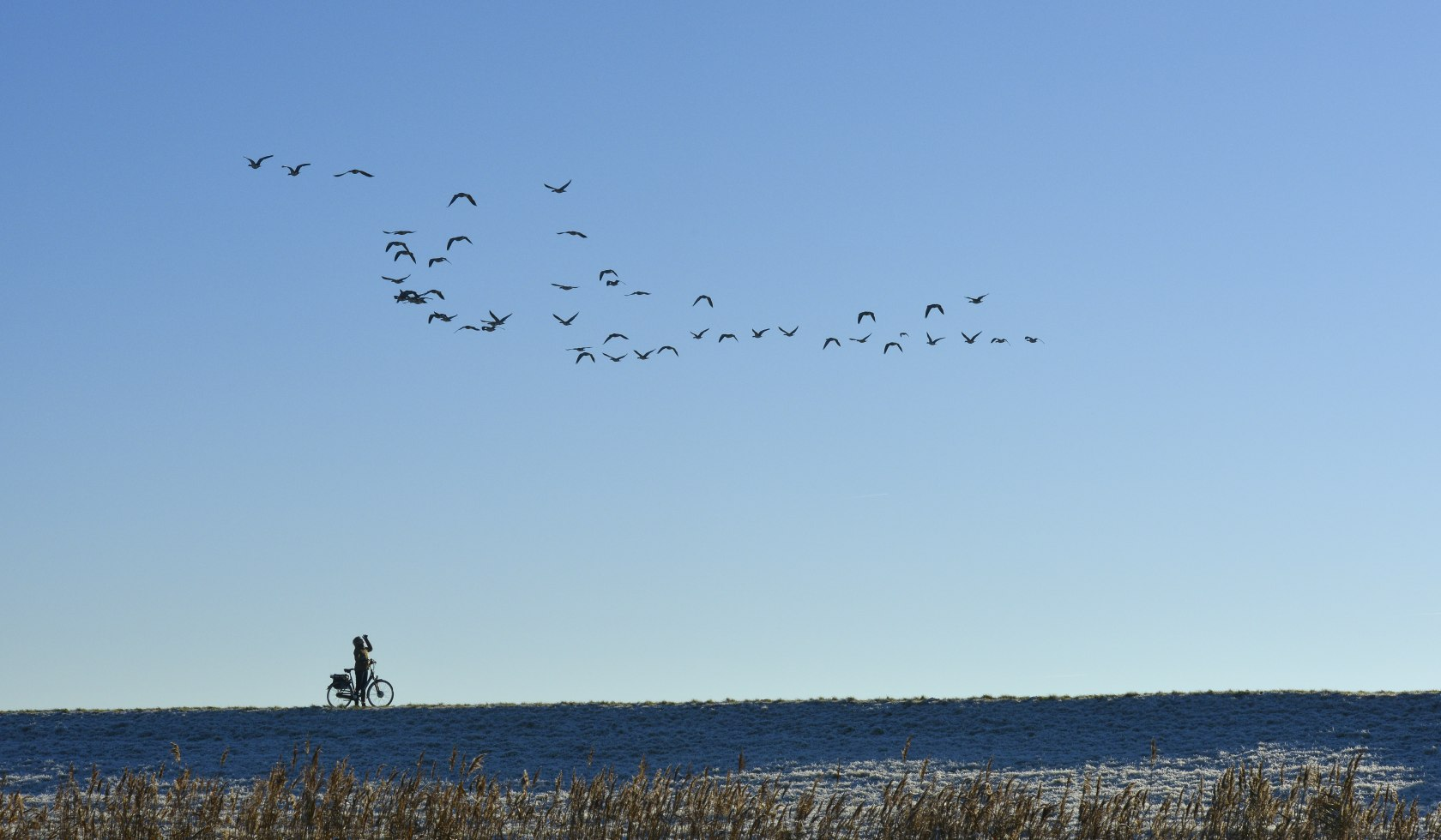Wild geese at East Frisia