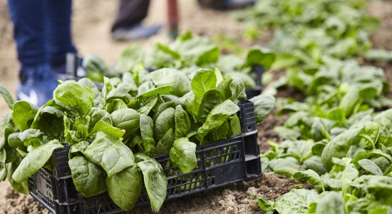 Freshly picked spinach in a wooden box