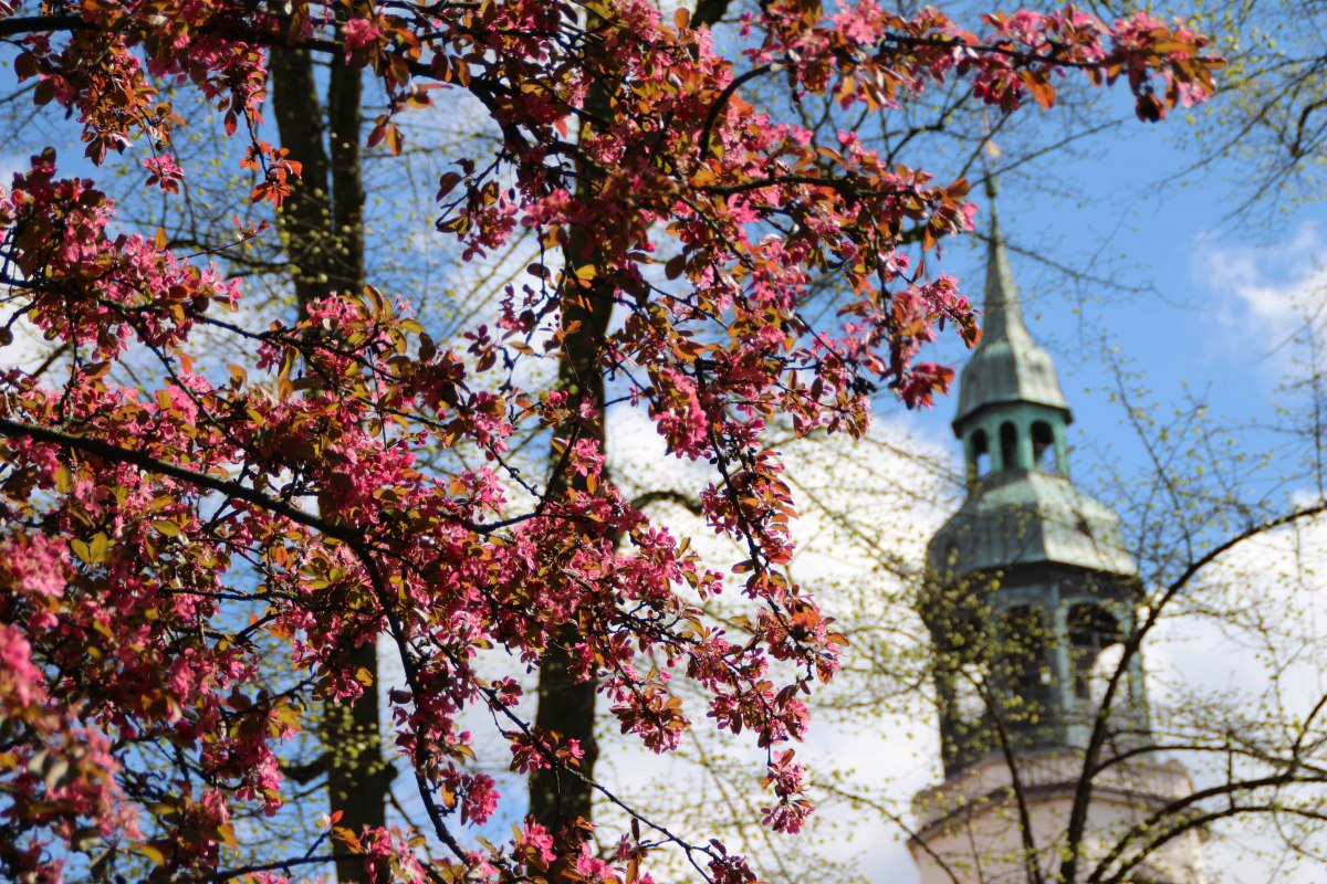 Cherry blossoms in front of the city church